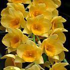 Dendrobium griffithianum  cемян