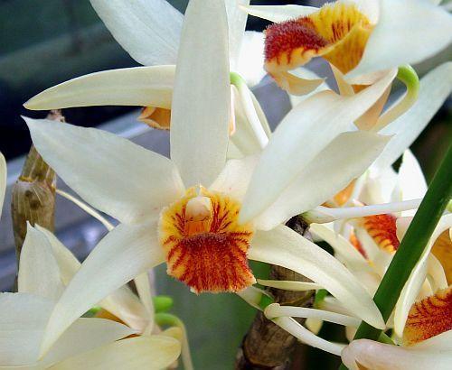Dendrobium heterocarpum orchids seeds