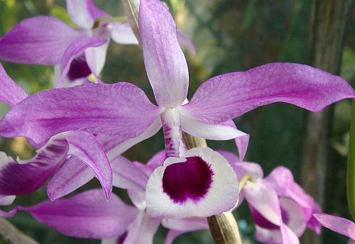Dendrobium lituiflorum orchids seeds