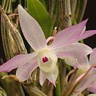 Dendrobium pachygloossum Orchideen Samen