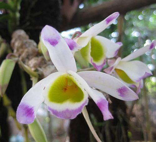 Dendrobium pendulum orchids seeds