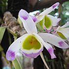 Dendrobium pendulum Orchideen Samen
