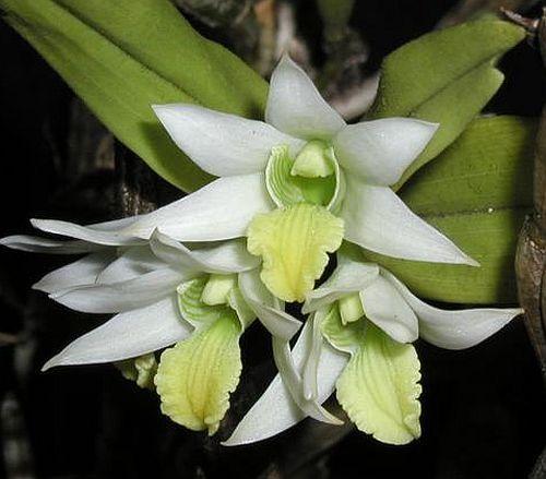 Dendrobium scabrilingue orchids seeds