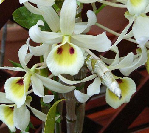 Dendrobium signatum orchids seeds