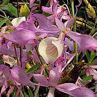 Dendrobium tortile orqu?dea semillas
