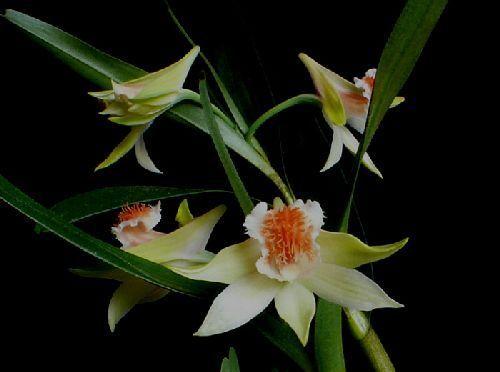 Dendrobium wiliamsonii orchid seeds