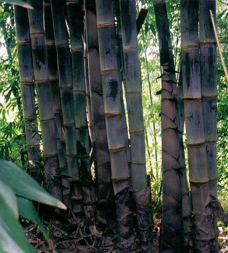 Dendrocalamus asper Black culmed rough bamboo seeds