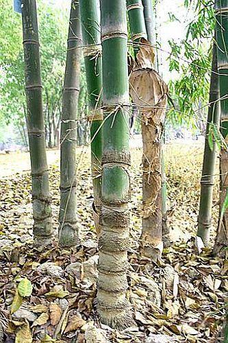 Dendrocalamus barbatus giant bamboo seeds