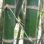 Dendrocalamus barbatus bamb? gigante semi