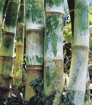 Dendrocalamus dianxiensis clumping bamboo seeds