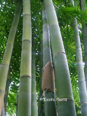 Dendrocalamus giganteus giant bamboo seeds