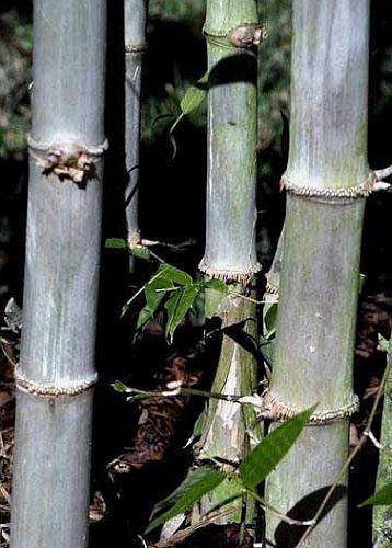 Dendrocalamus hamiltonii Tama bamboo - Hamilton dendrocalamus - Tufted bamboo seeds