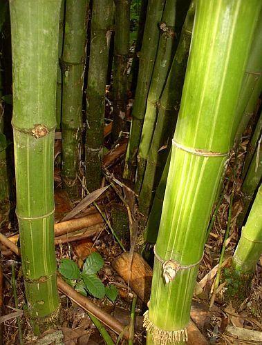 Dendrocalamus membranaceus waya bamboo seeds