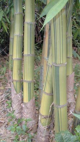 Dendrocalamus membranaceus cv. grandis Bamboo seeds