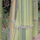 Dendrocalamus membranaceus cv. grandis Bambus Samen