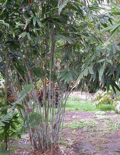 Dendrocalamus minor White bamboo - ghost bamboo - Small dendrocalamus seeds
