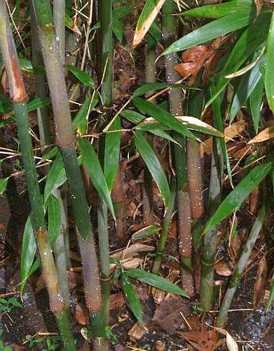 Dendrocalamus radicosus giant bamboo seeds