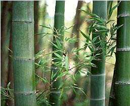 Dendrocalamus strictus Male bamboo - Calcutta bamboo - Solid bamboo seeds