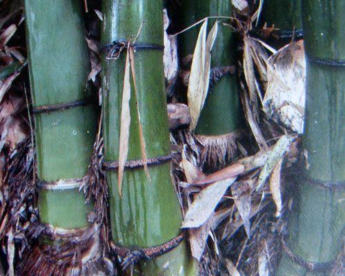 Dendrocalamus tibeticus giant bamboo seeds