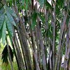 Dendrocalamus tibeticus bambou g?ant graines