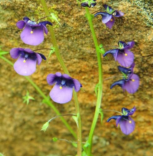 Diascia veronicoides twinspur seeds