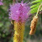 Dichrostachys cinerea Kalahari-Weihnachtsbaum Samen