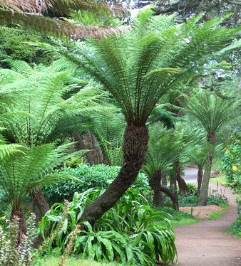 Dicksonia antarctica Hardy tree fern seeds