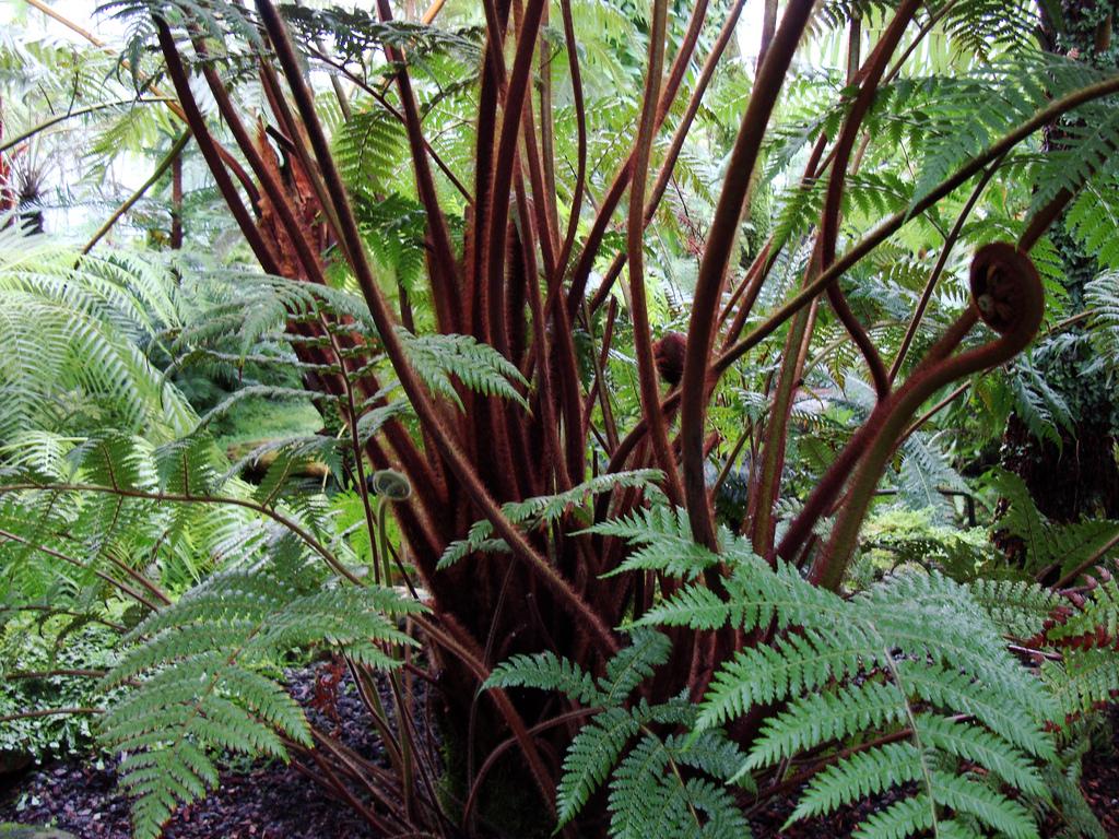 Dicksonia berteroana Tree fern seeds
