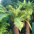 Dicksonia fibrosa Goldener Baumfarn Samen