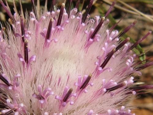 Dicoma anomala fever bush - stomach bush seeds