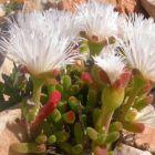 Dicrocaulon ramulosum syn: Schwantesia ramulosa Samen