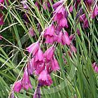 Dierama pendulum Canne ? p?che des anges graines