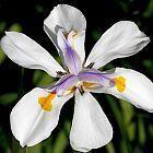 Dietes iridioides Iris africano semi