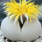 Dinteranthus microspermus Lebender Stein Samen