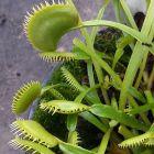 Dionaea muscipula Bear Trap  semi