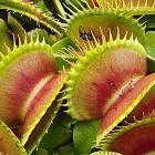 Dionaea muscipula Bimbo La Dion?e attrape-mouche graines