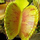 Dionaea muscipula Charlie Mandon Spotted