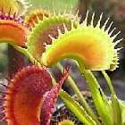 Dionaea muscipula Fake Dracula