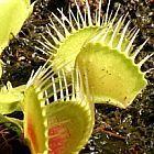 Dionaea muscipula Funnel Trap Piante Carnivore semi
