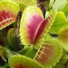 Dionaea muscipula H15 BCP  semi