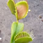 Dionaea muscipula Paradisia  cемян