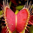 Dionaea muscipula Red Road Oxford  cемян