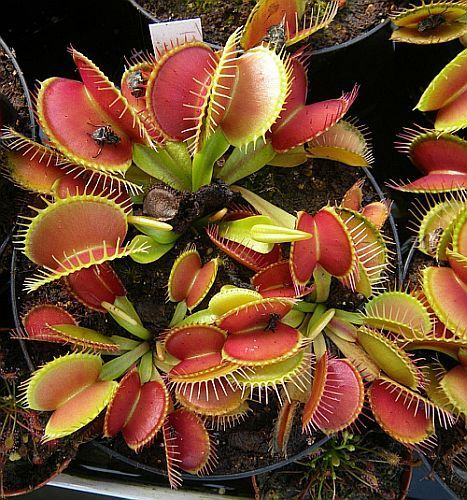Dionaea muscipula Tims Giant venus fly trap seeds