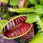 Dionaea muscipula WB9 dionea atrapamoscas?o?Venus atrapamoscas semillas