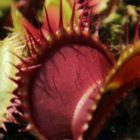 Dionaea muscipula X1 Carnigarden Venusfliegenfalle Samen