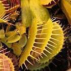 Dionaea muscipula Yellow-Orange