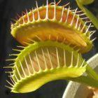 Dionaea muscipula Z11 Venusfliegenfalle Samen