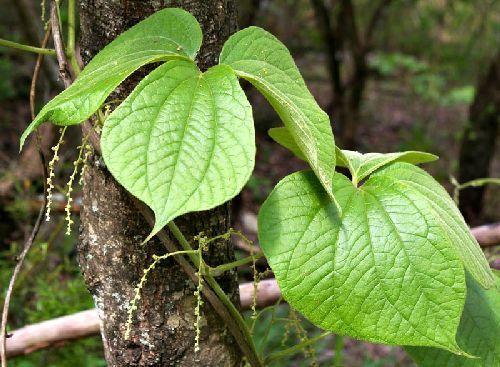 Dioscorea dregeana wild yam seeds