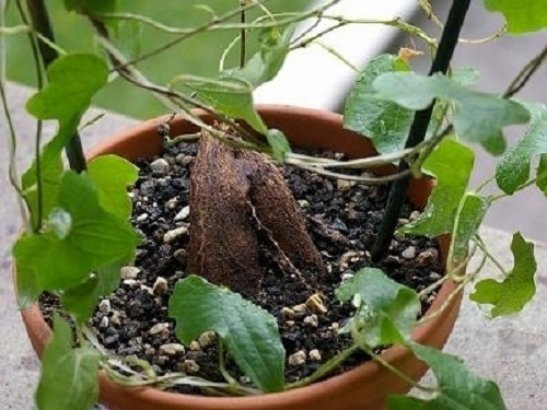 Dioscorea rupicola rocky turtle plant seeds