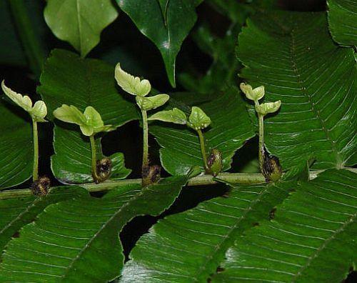 Diplazium proliferum mother fern seeds